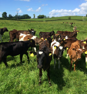 Photo of calves in a field