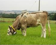Cow with sensors to monitor activity