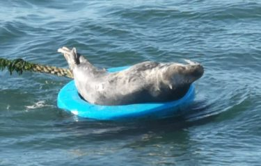 Seal lounging on mooring