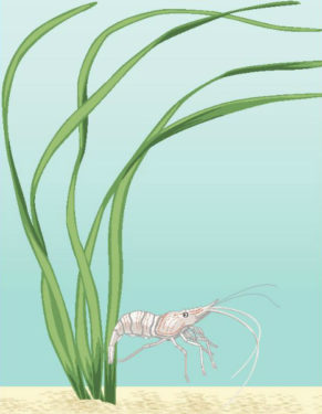 picture of eelgrass