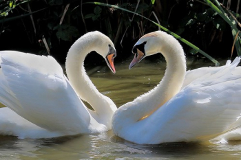"'Love At First Sight' Swans taken by Martin Weighell • <a style=""font-size:0.8em;"" href=""http://www.flickr.com/photos/27734467@N04/23118779133/"" target=""_blank"">View on Flickr</a>"