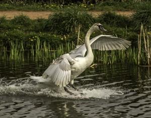 Juvenile Swan, landing on the canal, taken from my garden! - Anthony Nixon