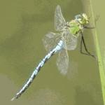 emperor dragonfly[1]