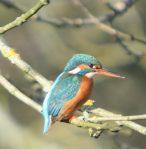 gwc-kingfisher[1]