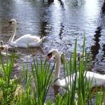 swans[1]