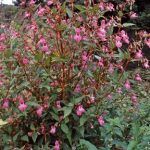Himalayan Balsam is a tall growing annual. Between June and October it produces clustesr of purplish pink flowers